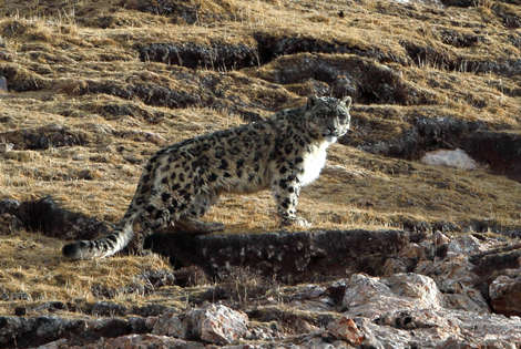 Tracking the Elusive Snow Leopard