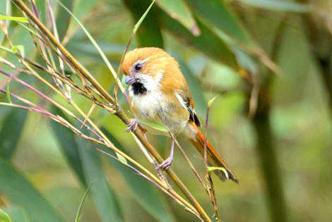 Longcanggou Parrotbill Excursion
